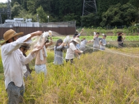 2015稲刈り